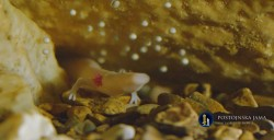 Postojna Grottenolm mit Eier